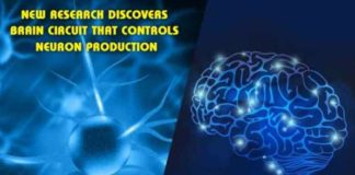new research discovers brain circuit that controls neuron production