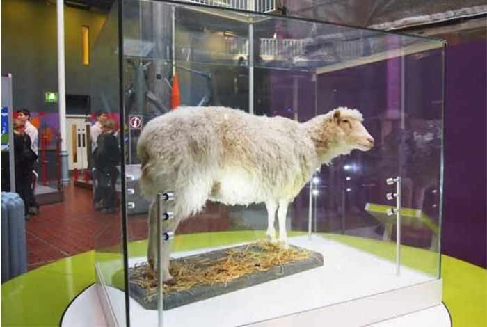 no signs of arthritis in the famous clone sheep dolly reports say