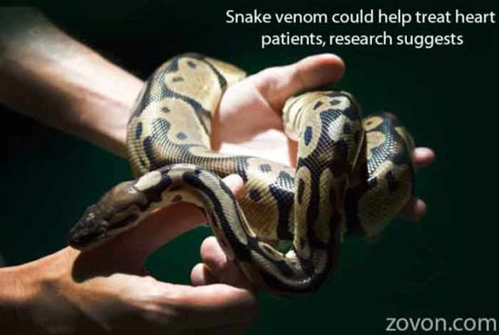 snake venom could help treat heart patients research suggests