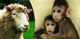 chinese scientists have successfully cloned two monkeys