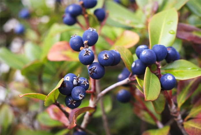 Bilberry Uses Interactions Side Effects and Dosage