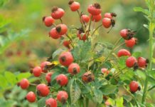 Rose Hips – A Wonderful Source of Vitamin C