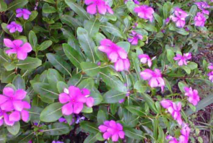 what makes rosy periwinkle a potent anti cancer medicinal plant