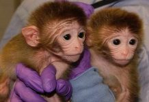 gene edited monkeys